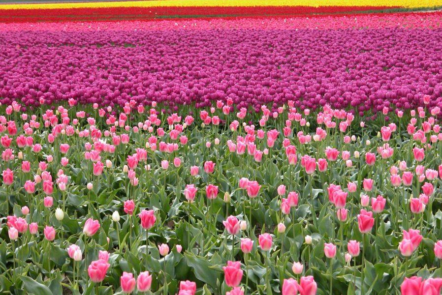 tulip-field
